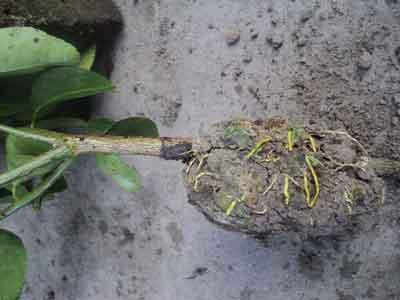 akar-tanaman-cangkokan