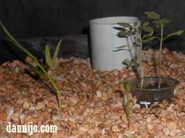 akuaponik-growbed-lebar-sifon