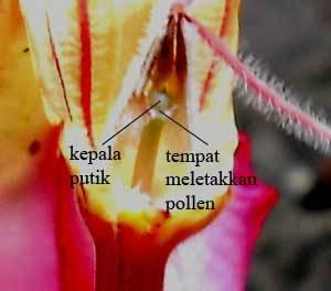 area-penyerbukan-bunga-adenium