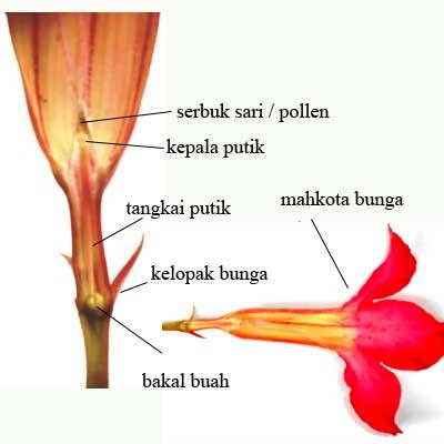 bagian-bunga-adenium