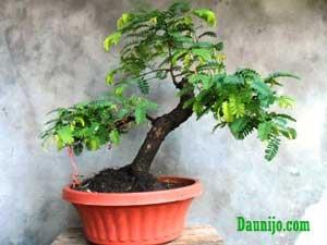 bakal-bonsai-asam-pendek