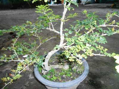 bakal-bonsai-kawista-batu