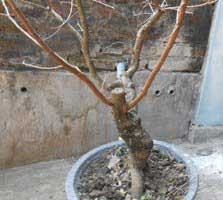 bakal-bonsai-pangkas-pertama