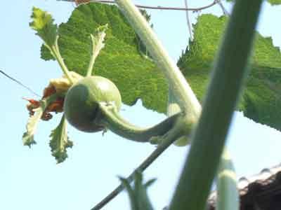 bakal-buah-waluh