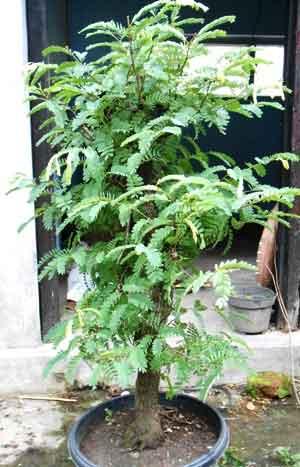 bakalan-bonsai-asam-jadi