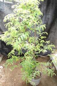 bakalan-bonsai-asam-jawa