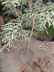 bakalan-bonsai-asam-tua