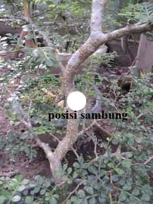 bakalan-bonsai-kawista-sambung