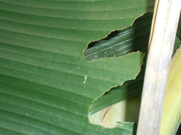 bekas-gigitan-belalang-daun