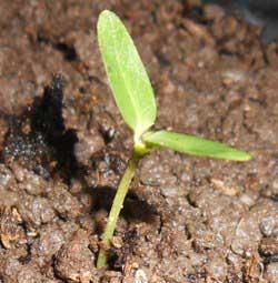 benih-mengkudu