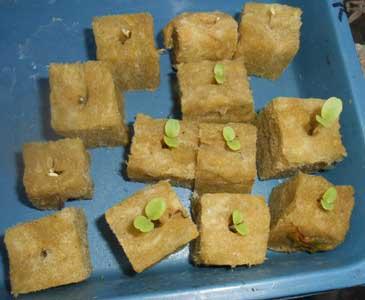bibit-selada-hijau