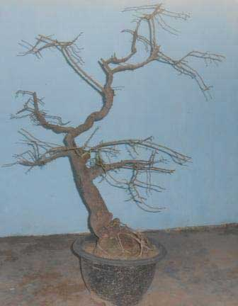 bonsai-asam-1b