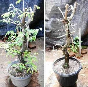 bonsai-asam-pruning1