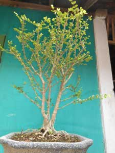 bonsai-mirten-pasca-pruning