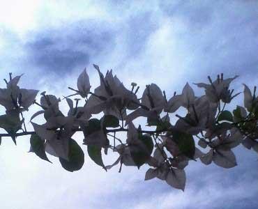 bougenville-bunga-putih