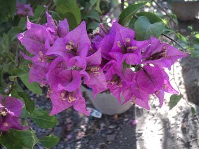 bougenville-bunga-ungu