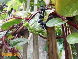 buah-dan-daun-binahong