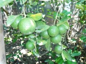 buah-daun-jeruk-nipis