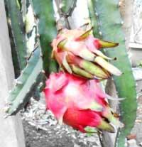 buah-naga-matang