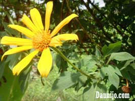 bunga-daun-kipahit