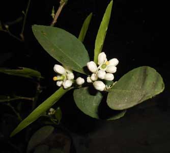 bunga-lebat-tabulampot-jeruk-nipis