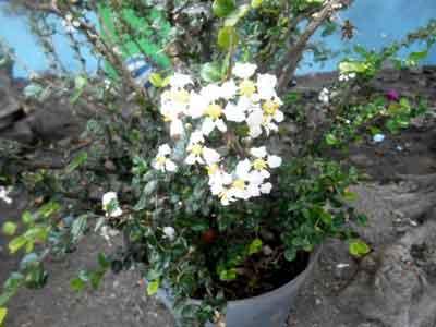 bunga-pohon-mirten