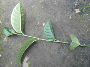 calon-batang-stek-nangka