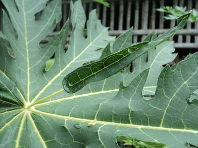 ciri-daun-pepaya-california