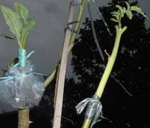 Contoh sambung pucuk tomat - takokak yang sudah hidup.