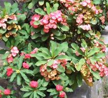 euphorbia-bunga-pink