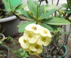 euphorbia-bunga-putih-kuning