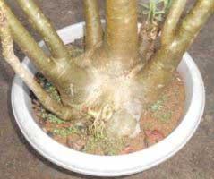 gambar-bonggol-adenium-arabikum