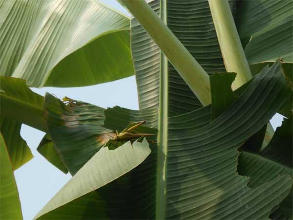 hama-belalang-daun
