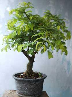 hasil-bonsai-asam-pruning-kedua