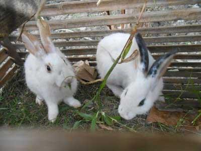 kelinci-lokal