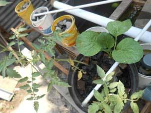 kolam-lele-dan-aquaponik-mengurangi-bau