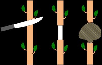 langkah-mencangkok-tanaman