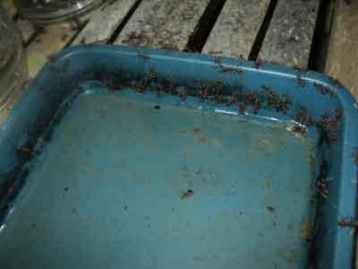larutan-gula-pakan-semut