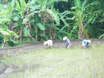 menanam-padi