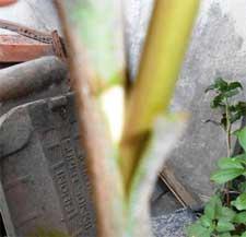 okulasi-mangga-pucuk-muda