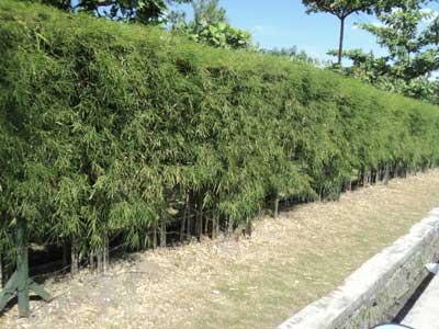 pagar-hidup-tanaman-bambu