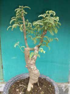 pilih-cabang-terbaik-bonsai-asam