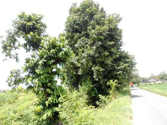 pohon-gayam