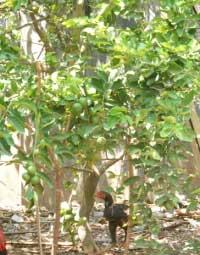pohon-jeruk-nipis