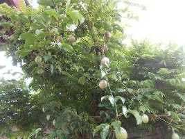 pohon-markisa2