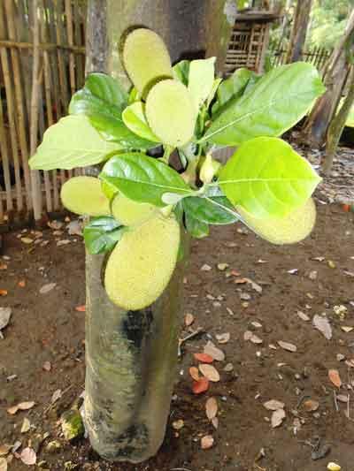 pohon-nangka-berbuah-pendek