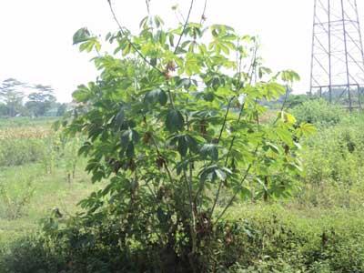 pohon-singkong-karet-batang-besar