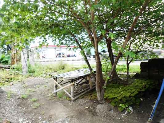 pohon-talok