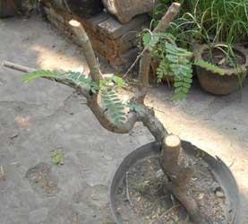 potong-bakal-bonsai-asam-tua