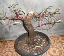 potong-batang-pendek-sisa-3-cabang